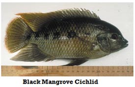 Pst Fish Black Mangrove Chichlid Photo