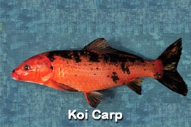 Pest Fish Koi Carp Photo