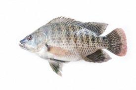 Pest Fish Tilpia