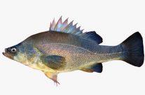 Golden Perch